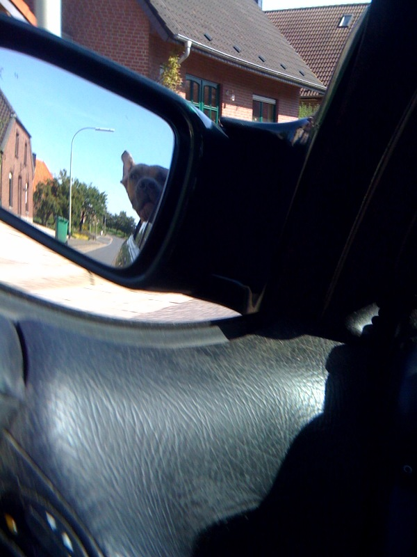 boerboel loki driving with head outside the car window