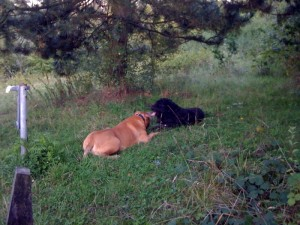 boerboel and boeverier